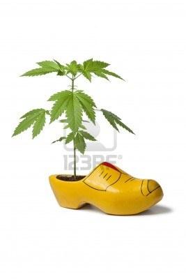 -marihuana-planten-in-de-nederlandse-klomp-als-symbool-voor-de-tolerantie-van-het-gebruik-van-wiet-in.jpg