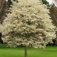 gewone krent op stam jonge boom veel snoeien.  mooie bloei eetbare vruchten