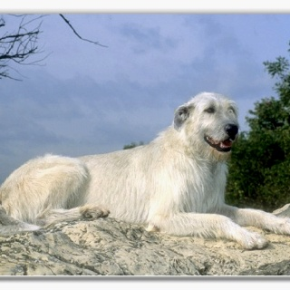 My next dog!!! And-- this color too!!!  Irish Wolfhound-- so sweet!