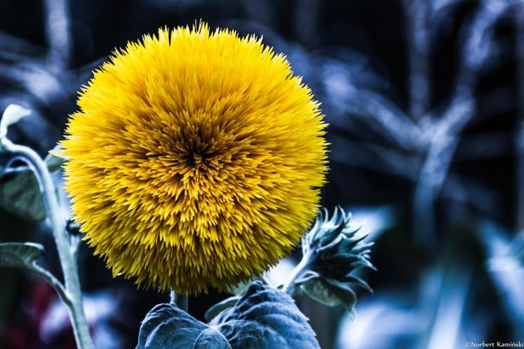 Sunflower by Norbert Kamiński