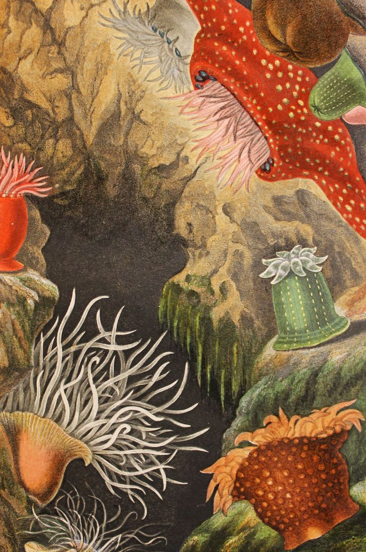 "From: ""Actinologia Britannica: A History of the British Sea-Anemones and Corals,"" by Phillip H. Gosse. London, 1860. For more details: http://mannlibrary.tumblr.com/post/156770823841/unveiling-the-wonders-of-the-sea"