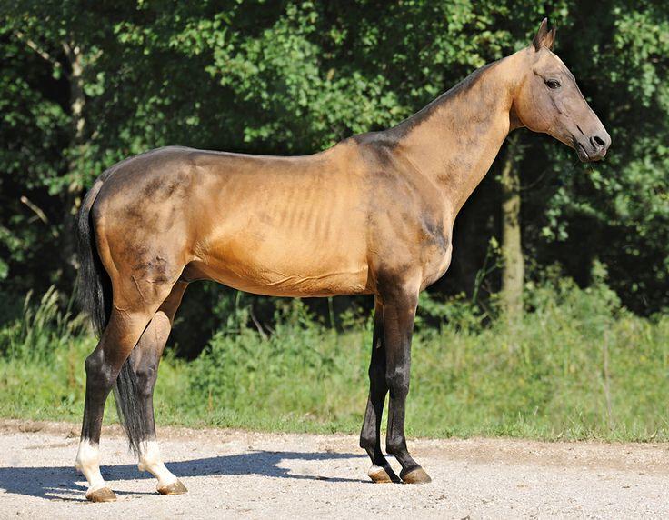 sooty buckskin - Akhal-Teke stallion Lamart