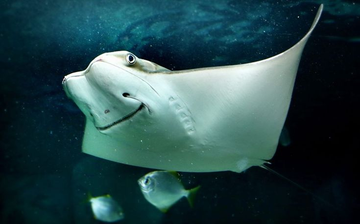This smiling Cow Nose Ray is part of the new exhibit at Underwater World in Mooloolaba on the Sunshine Coast, Australia