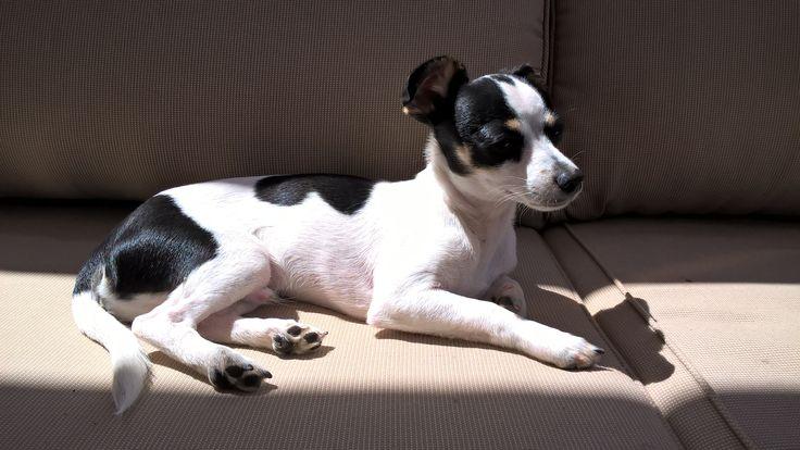 Axel, nuestro Toy Fox Terrier.