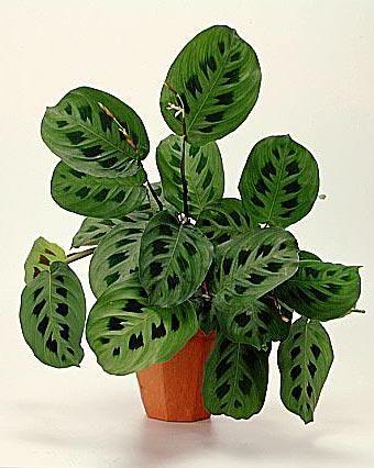 maranta kerchoveana calathea aka prayer plant cat