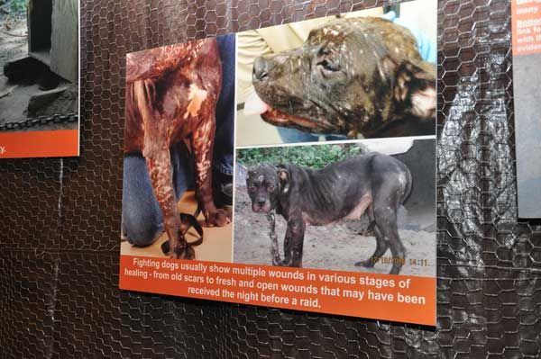 """New ASPCA Exhibit Spotlights the Horrors of Dog Fighting    """"Dog Fighting: The Voiceless Victims"""" is a harrowing but necessary look at the evil practice. If you see something that indicates dog fighting please report it."""