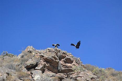 Kondorer i Peru