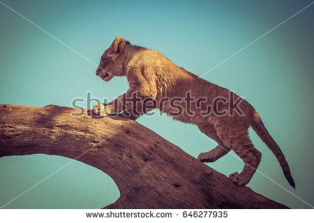 Young lion cub climbing on a tree