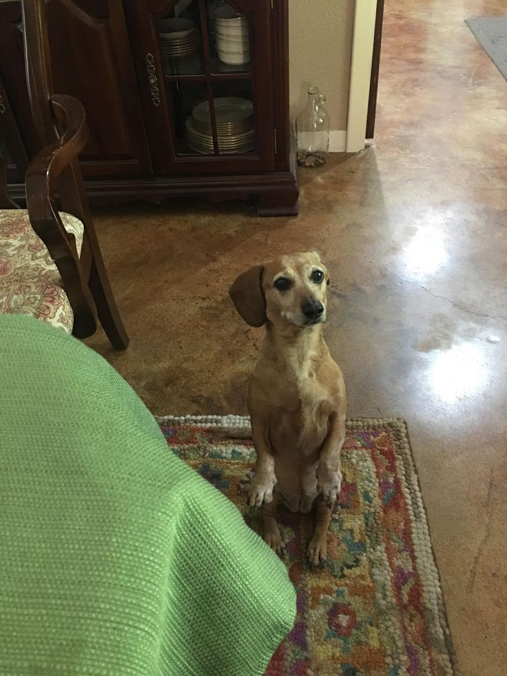 Anyone else's weenie dog beg for food like this? http://ift.tt/2nwOQCE