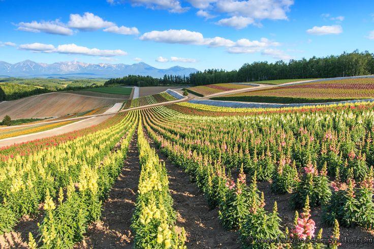 #Hokkaido, #Japan Read more: http://www.fabionodariphoto.com/wrp/hokkaido-lisola-dei-fiori/