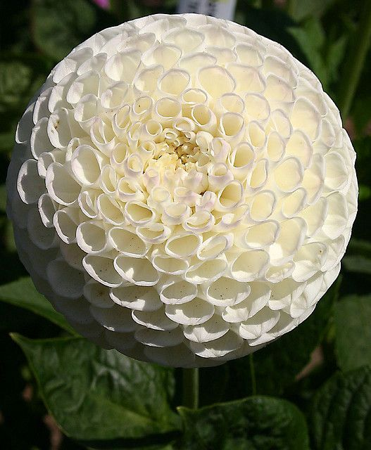 White Dahlia - this is one variety I don't have in my garden. I'd like to find this kind of white dahlia to plant next year.