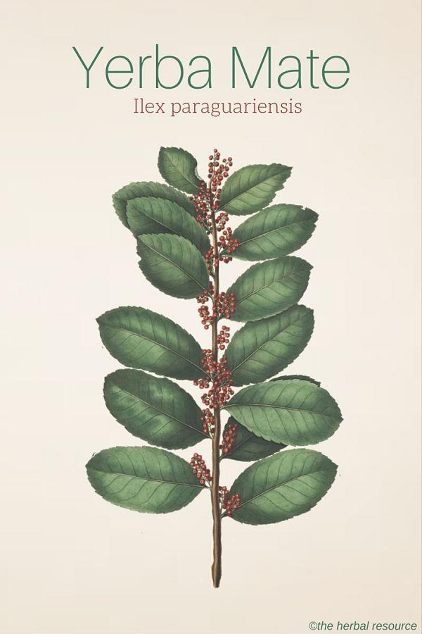 Yerba Mate Ilex paraguariensis