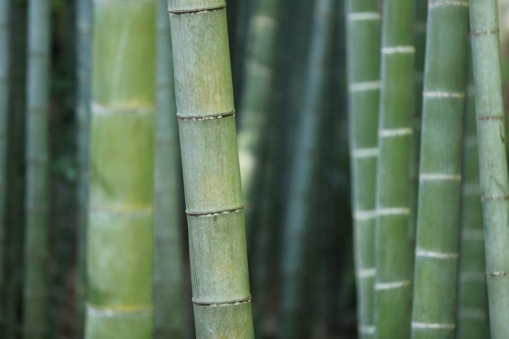 Major opportunities are aligning for bamboo production in the United States, and even a small slice of the global market could bring windfall profits to American agriculture.