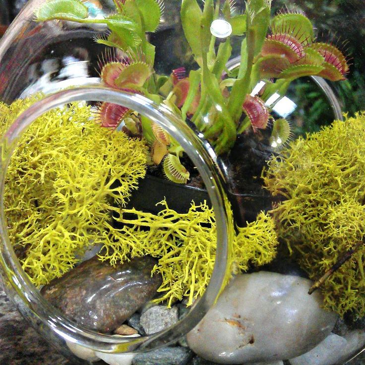 Terrariums are all the rage. Pinterest is full of the most popular and clever combinations in an endless assortment of clear glass containers, ranging from re-purposed jars to the newest in commercially-available designs. Big or small, everybody loves a terrarium! Choosing the best plants for terrariums can be tricky for a first time indoor gardener, …