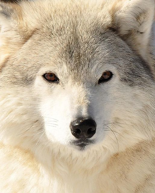 Arctic Wolf in all of his beauty!