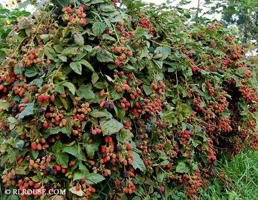 Thornless Blackberry Chester Shrubs Pinterest
