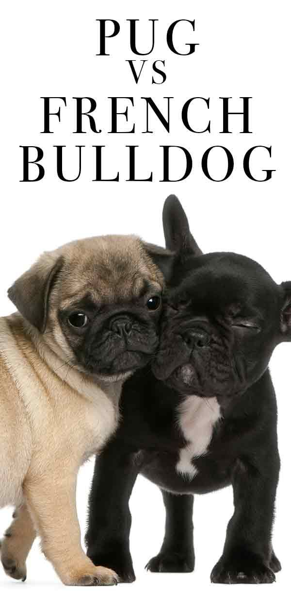 Pug Vs French Bulldog Bulldog Breeds French Bulldog Bulldog