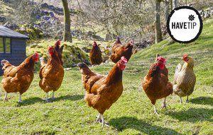 Det er hyggeligt at have høns rendende rundt og spise ukrudt i haven.