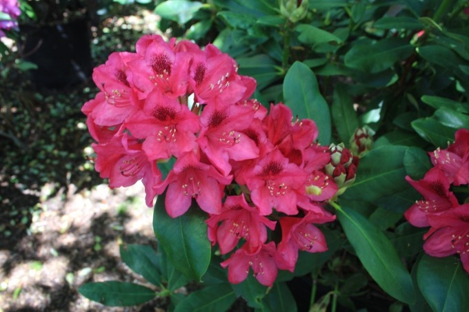 rhododendron catawbiense 39 nova zembla 39 zone 5 9 height 7 9ft tall and wide shade tolerant a. Black Bedroom Furniture Sets. Home Design Ideas