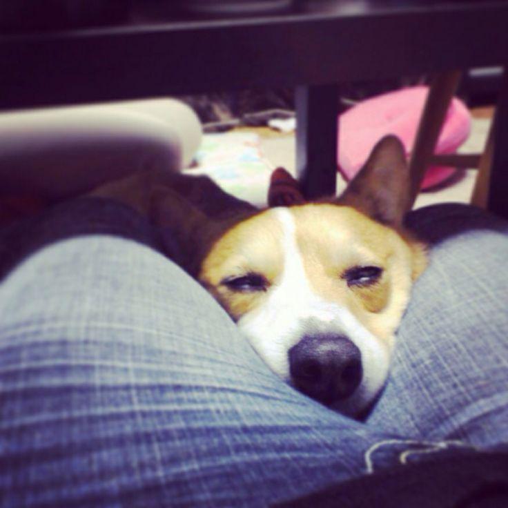 He loves mother's legs. #dog #corgi