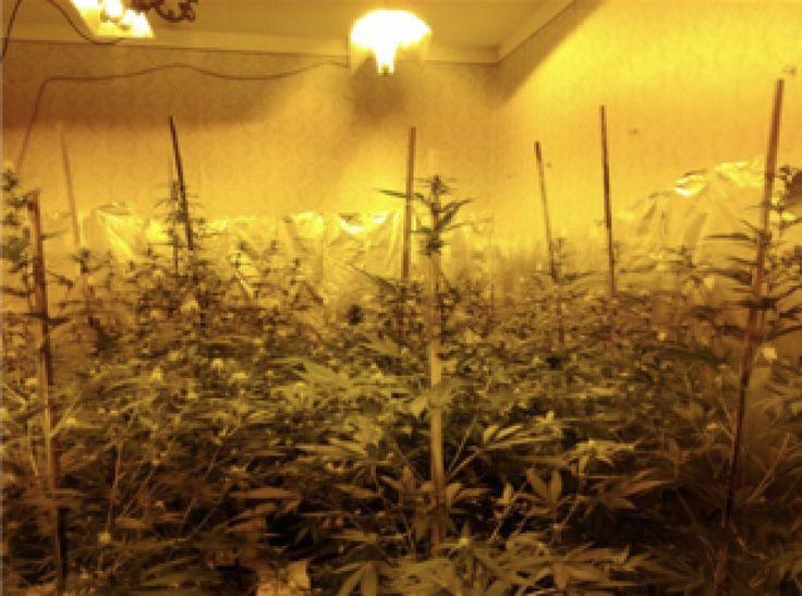 Albanella (Salerno), scoperta dai Carabinieri una Piantagione di Cannabis Indica