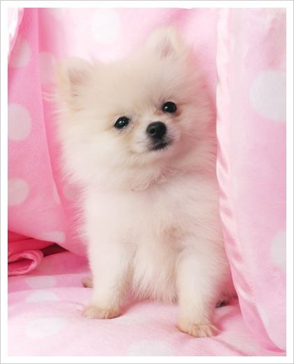Teacup Pomeranian- I wouldn't need anything else in my life!