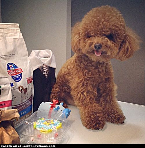 birthday toy poodle amazing photos for the love of