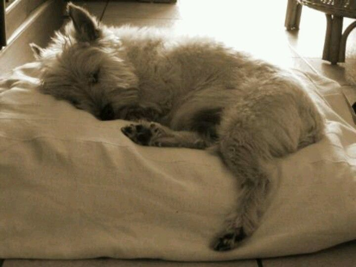 Cairn terrier. I am determined to have one of these one day!