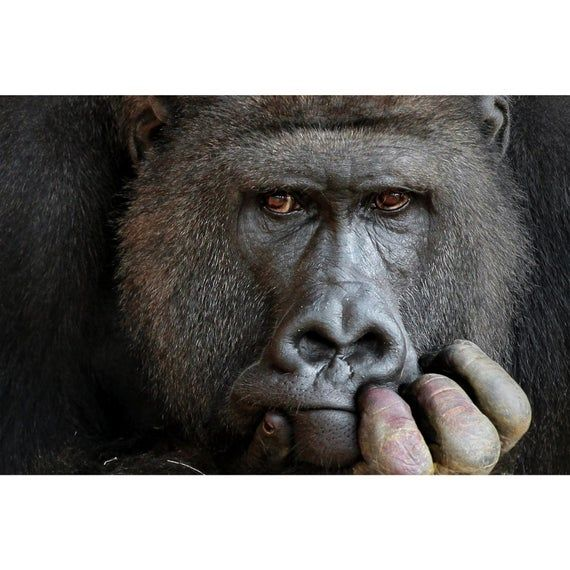 Gorilla Thinking Pose Poster Print House Decoration Animal Picture Quality Paper
