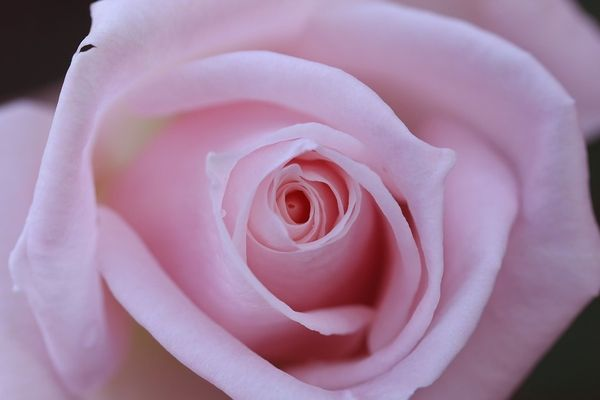 Free photo: Rose, Pink, Up, Close, Isolated - Free Image on Pixabay - 1153404