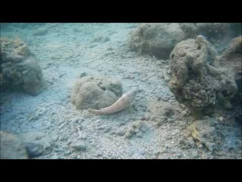 рыбы красного моря энциклопедия, окунь краснополосый
