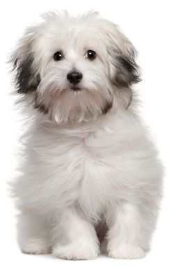 The Bolognese hardly sheds. They are 10 to 12 inches tall (to shoulders) and weighs 9 to 11 pounds. He has a long, woolly coat that is flocked without being curly. Its color is pure white. Does require trimming.