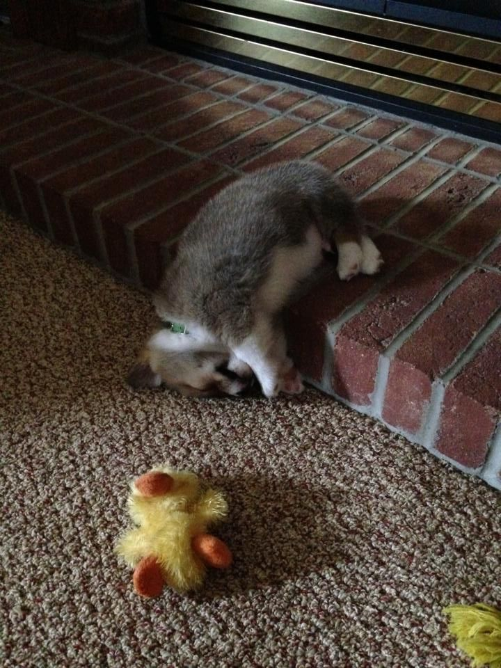He slept like this for almost an hour. Tired Corgi