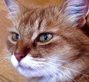 Home Remedies for Cat Allergies-Home remedies for cat allergies may be the difference between finding a balance when living with a feline and saying goodbye to Fifi #pet #allergies