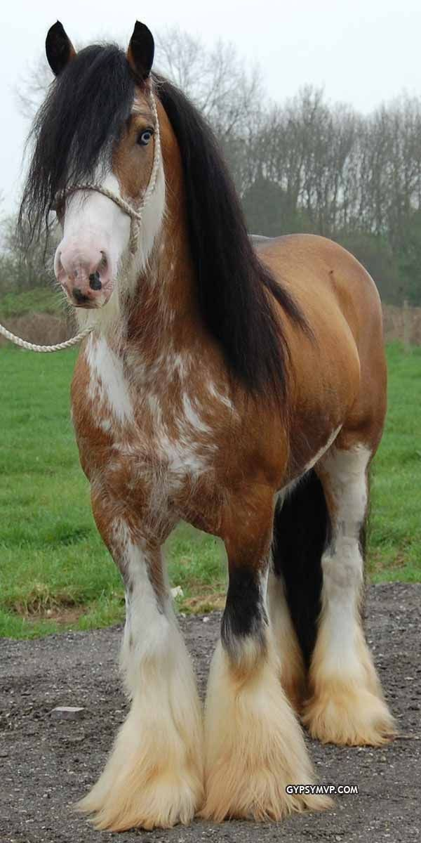 "Gypsy Vanner Horse | Stallion |Golden buckskin blagdon Skewbald ""Sundance Kid"""