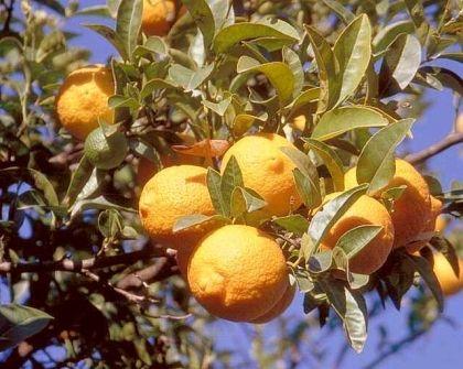Vörös citrom - (Citrus volkameriana): Citrusfélék | Ár: 5500.00 Ft