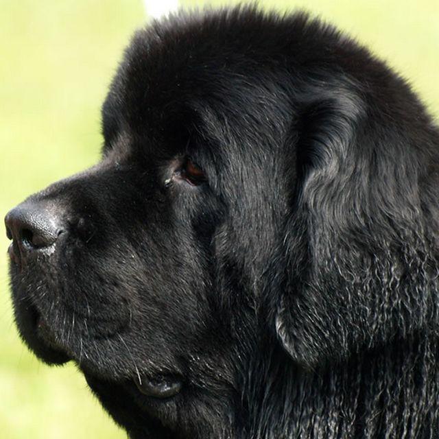 Фото собак породы ньюфаундлендов. Фото крупных пород собак. Фото умных пород собак.