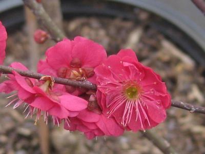 Japanese Flowering Apricot, Prunus mume 'Matsubara Red.'  Pleasant Run Nursery