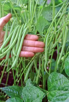 Useful advice for my temporary container with beans - They look good with the flowers as well as the beans and provide height to a display of veg. Some helpful tips for growing Green Beans