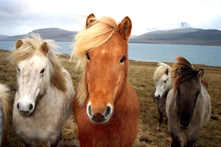 "Icelandic horses... by Michiel Mulder, ""... doing nothing. Just being happy Icelandic horses."""
