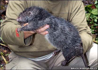 RatWoolly Rats, Gambian Rats, Trench Rats, Wild Rats, Rats Discover, Giants Rats, Pouch Rats, Things Rats, Big Rats
