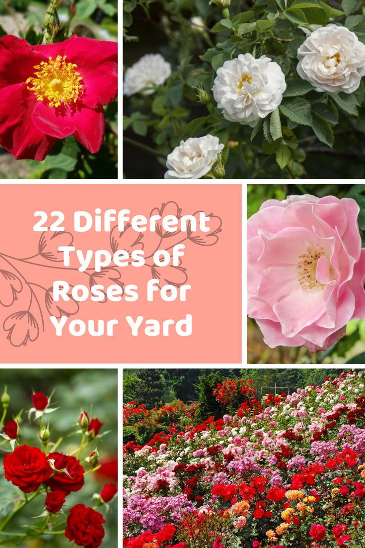 Stunning In Red White Pink Or In Any Color These 22 Different Types Of Roses Are Perfect Additio Types Of Roses Types Of Rose Bushes Landscaping With Roses