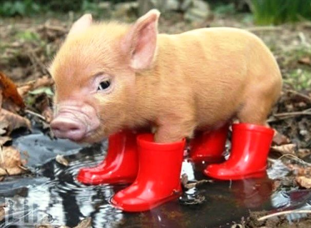 Pig n' Boots