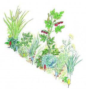 """Extrait du livre """"guide de survie joyeuse,"""" le potager façon gertrud franck qui mélange trois types de lignes de trois types de légumes différents. Voir le lien !"""