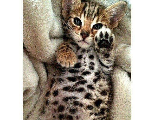 Cuteness of a cat is beloved by all Cute #Cat.