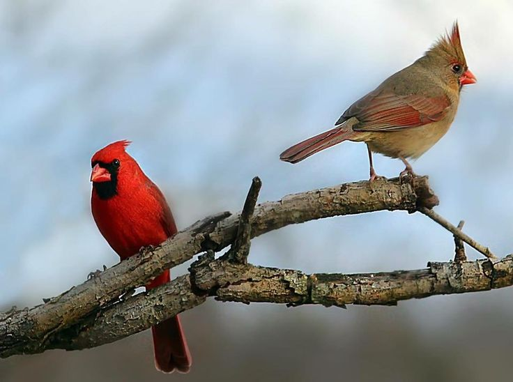 78+ Images About Cardinal Pictures On Pinterest