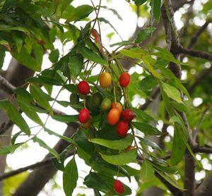 Trade Winds Fruit - Harpephyllum caffrum - Kaffir Plum, $2.00 (http://www.tradewindsfruit.com/harpephyllum-caffrum-kaffir-plum-seeds)