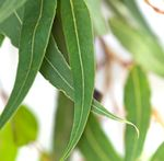 Pure Eucalyptus (Globulus) Essential Oil for making shower bombs