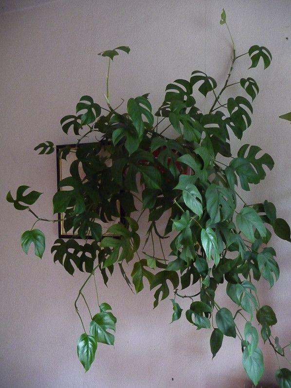Philodendron 'Piccolo', bis repetita ! http://www ...