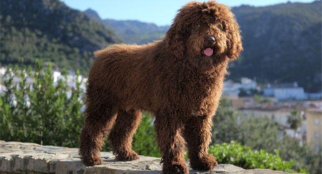 Razas de perros: perro de agua portugués